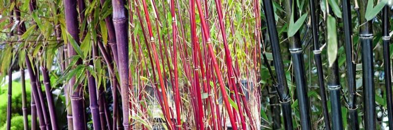 bambous de couleur
